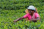 Tamil woman plucking tea leaves, Dickoya, Hill Country, Sri Lanka, Asia Stock Photo - Premium Rights-Managed, Artist: Robert Harding Images, Code: 841-05847720