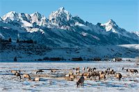 Elk (Cervus canadensis) with antlers, snow-covered Teton Mountains in the background, Elk Wildlife Refuge, Jackson Hole, Wyoming, United States of America, North America Stock Photo - Premium Rights-Managednull, Code: 841-05847770