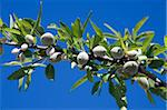 Almonds on branch, Sicily, Italy, Europe Stock Photo - Premium Rights-Managed, Artist: Robert Harding Images, Code: 841-05848585