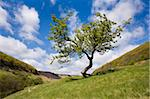Hawthorn tree near the Hole of Horcum, North Yorkshire Moors, Yorkshire, England, United Kingdom, Europe Stock Photo - Premium Rights-Managed, Artist: Robert Harding Images, Code: 841-05848842