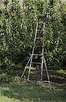 single fruits tree - Orchard Ladder and Pear Trees, Cawston, Similkameen Country, British Columbia, Canada Stock Photo - Premium Royalty-Freenull, Code: 600-05855155