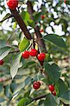 Sour Cherries, Beamsville, Niagara Region, Ontario, Canada Stock Photo - Premium Royalty-Free, Artist: Michael Mahovlich, Code: 600-05855176