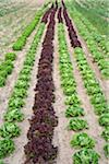 Boston and Romaine Lettuce, Fenwick, Ontario, Canada Stock Photo - Premium Royalty-Free, Artist: Michael Mahovlich, Code: 600-05855206