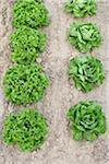 Boston and Leaf Lettuce, Fenwick, Ontario, Canada Stock Photo - Premium Royalty-Free, Artist: Michael Mahovlich, Code: 600-05855207