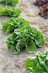Boston Lettuce, Fenwick, Ontario, Canada Stock Photo - Premium Royalty-Free, Artist: Michael Mahovlich, Code: 600-05855210