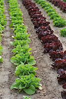 earth no people - Romaine and Leaf Lettuce, Fenwick, Ontario, Canada Stock Photo - Premium Royalty-Freenull, Code: 600-05855211