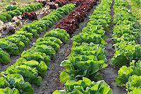 Boston, Romaine and Leaf Lettuce, Fenwick, Ontario, Canada Stock Photo - Premium Royalty-Freenull, Code: 600-05855216