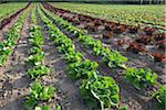 Boston, Romaine and Leaf Lettuce, Fenwick, Ontario, Canada Stock Photo - Premium Royalty-Free, Artist: Michael Mahovlich, Code: 600-05855222