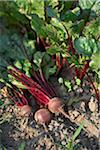 Beets, Fenwick, Ontario, Canada Stock Photo - Premium Royalty-Free, Artist: Michael Mahovlich, Code: 600-05855223