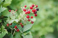 blackberry growth. beautiful landscape Stock Photo - Royalty-Freenull, Code: 400-05876898