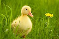 Little yellow duckling on the green grass Stock Photo - Royalty-Freenull, Code: 400-05876902
