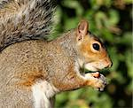 Portrait of a Grey Squirrel eating hazelnuts in Autumn sunshine Stock Photo - Royalty-Free, Artist: scooperdigital                , Code: 400-05877110