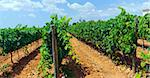 Beautiful rows of grapes on the island of Mallorca, Spain Stock Photo - Royalty-Free, Artist: macsim                        , Code: 400-05878322
