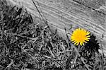 Yellow dandelion on black and white grass. Stock Photo - Royalty-Free, Artist: Aleksan                       , Code: 400-05878345