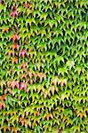 Closeup of lush green ivy covering a wall Stock Photo - Royalty-Free, Artist: paulmaguire                   , Code: 400-05881686