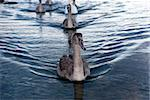 Swan family swimming in Little Belt in Denmark. Stock Photo - Royalty-Free, Artist: A1B2                          , Code: 400-05882699