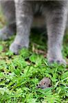 Gray cat hunting after mouse on a gree grass Stock Photo - Royalty-Free, Artist: AGorohov                      , Code: 400-05883288