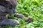 Gray cat caught mouse on a green grass Stock Photo - Royalty-Free, Artist: AGorohov                      , Code: 400-05883289