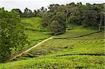 Azores tea fields at Sao Miguel island Stock Photo - Royalty-Free, Artist: CaptureLight                  , Code: 400-05883564