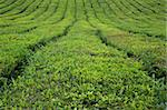 Azores tea fields at Sao Miguel island Stock Photo - Royalty-Free, Artist: CaptureLight                  , Code: 400-05883565