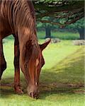 grazing brown straight egyptian horse in a forest Stock Photo - Royalty-Free, Artist: Olya85                        , Code: 400-05884762