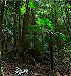 tropical rain forest pristine unspoilt jungle in Daintree national park Cape Tribulation, Australia, ancient gigantic tree in rainforest Stock Photo - Royalty-Free, Artist: kikkerdirk                    , Code: 400-05885635