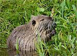 Wild nutria in Harz, Germany Stock Photo - Royalty-Free, Artist: Mike_Bear                     , Code: 400-05886920