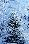 Snowy evergreen fir tree spruce in winter forest background Stock Photo - Royalty-Free, Artist: Anterovium                    , Code: 400-05888207
