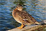Duck out of water.  Colourful female mallard duck (Anas platyrhynchos). Stock Photo - Royalty-Free, Artist: mystockphotos                 , Code: 400-05891369