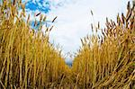 field of wheat inside Stock Photo - Royalty-Free, Artist: mycola                        , Code: 400-05891547