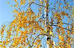 Small yellow birch leaves in  autumn and sky. Stock Photo - Royalty-Free, Artist: sauletas                      , Code: 400-05891773