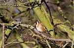 Goldfinch perched on a branch in winter Stock Photo - Royalty-Free, Artist: chris2766                     , Code: 400-05893513
