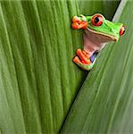 curious red eyed tree frog hiding in green background leafs Agalychnis callydrias exotic amphibian macro treefrog copyspace Stock Photo - Royalty-Free, Artist: kikkerdirk                    , Code: 400-05896807