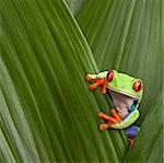 curious red eyed tree frog hiding in green background leafs Agalychnis callydrias exotic amphibian macro treefrog  Costa Rica rain forest animal copyspace Stock Photo - Royalty-Free, Artist: kikkerdirk                    , Code: 400-05896811
