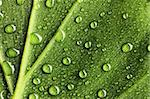 Beautiful water drops on a leaf close-up Stock Photo - Royalty-Free, Artist: haveseen                      , Code: 400-05897464
