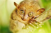 Tarsier monkey in natural environment Stock Photo - Royalty-Freenull, Code: 400-05897474