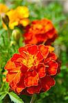 Orange Flowers (Tagetes) on the background of greenery on a bed Stock Photo - Royalty-Free, Artist: Stavrida                      , Code: 400-05898372