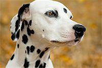 Dalmatian dog portrait yellow autumn background Stock Photo - Royalty-Freenull, Code: 400-05899622