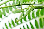 mantis in green nature or in garden