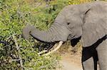 African elephant (Loxodonta africana) feeding on tree branches, Sabie-Sand nature reserve, South Africa  Stock Photo - Royalty-Free, Artist: EcoShow                       , Code: 400-05900110