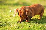 dachshund dog Stock Photo - Royalty-Free, Artist: leungchopan                   , Code: 400-05901608