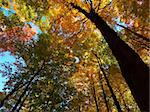 fall colours looking skyward Stock Photo - Royalty-Free, Artist: ajcgn                         , Code: 400-05903678