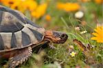 The side view of a tortoise walking along a flowery grassland, Western Cape, South Africa Stock Photo - Royalty-Free, Artist: Fiona_Ayerst                  , Code: 400-05903867