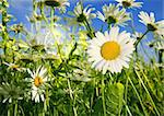 beautiful camomiles  on a green meadow Stock Photo - Royalty-Free, Artist: JanBussan                     , Code: 400-05905663