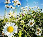 beautiful camomiles  on a green meadow Stock Photo - Royalty-Free, Artist: JanBussan                     , Code: 400-05905787