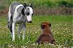 portrait of a  whippet and puppy belgian sheepdog malinois in a field Stock Photo - Royalty-Free, Artist: cynoclub                      , Code: 400-05905803