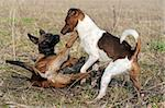 picture of a purebred puppy belgian sheepdog malinois and jack russel terrier playing Stock Photo - Royalty-Free, Artist: cynoclub                      , Code: 400-05905806