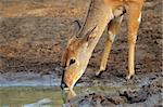Female Nyala antelope (Tragelaphus angasii) drinking water, Mkuze game reserve, South Africa  Stock Photo - Royalty-Free, Artist: EcoShow                       , Code: 400-05906041