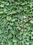 green ivy leaves Stock Photo - Royalty-Free, Artist: gegelaphoto                   , Code: 400-05908590