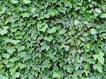 green ivy leaves Stock Photo - Royalty-Free, Artist: gegelaphoto                   , Code: 400-05908591